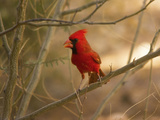 Male  Northern Cardinal  Perched on Tree  Saguaro NP  Arizona  Usa