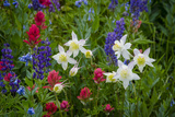 Columbine  Indian Paintbrush  Bluebells  and Lupine  Utah