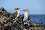 Ecuador  Galapagos  Isabela Island  Punta Moreno Blue-Footed Booby