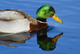 USA  Wa  Jaunita Bay Wetlands  Mallard Duck  Male