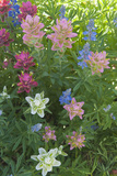 Wildflowers  Alta Ski Resort  Uinta-Wasatch-Cache Nf  Utah