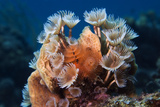 Feather Duster Worms and Christmas Tree Worms Netherlands Antilles