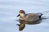 USA  Wa  Jaunita Bay Wetlands  Gadwall Duck  Male