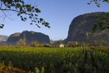 Vinales Valley and Tobacco Crop Sierra Rosario Mountain Range Cuba