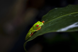 Red-Eyed Tree Frog Sarapiqui Costa Rica Central America