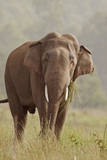 Indian Asian Elephant Feeding  Corbett National Park  India