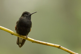 Black-Bellied Hummingbird in Cloud Forest  Costa Rica