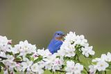 Eastern Bluebird Male in Crabapple Tree  Marion  Illinois  Usa