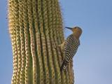 Gila Woodpecker on Saguaro  Saguaro National Park  Arizona  Usa