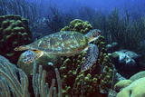Swimming Green Turtle over Coral Reef. Curacao, Netherlands Antilles Papier Photo par Barry Brown