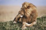 Kenya  Maasai Mara National Reserve  Lion Resting in Grass
