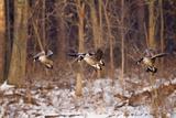 Canada Geese Landing on Frozen Lake  Marion  Illinois  Usa