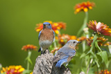 Eastern Bluebirds on Fence Post  Holmes  Mississippi  Usa