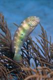 Green Razorfish over Gorgonian Bonaire  Netherlands Antilles