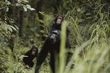 Tanzania  Gombe Stream NP  Chimpanzee Female Animal and Twins