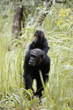 Tanzania  Gombe Stream NP  Chimpanzee with Her Baby on Her Back