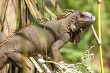 Green Iguana Sarapiqui Costa Rica Central America
