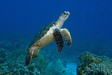 Hawksbill Sea Turtle over a Coral Reef Curacao  Netherlands Antilles