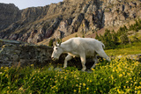 Mountain Goat  Hidden Lake Trail  Glacier NP  Kalispell  Montana