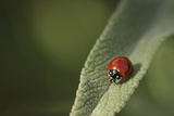 Convergent Ladybird Beetle on Cleveland Sage  Southern California