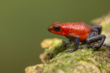 Strawberry Poison Dart Frog in Rainforest  Selva Verde  Costa Rica