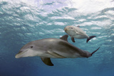 Atlantic Bottlenose Dolphins and Baby Curacao  Netherlands Antilles