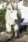Mountain Goat  at Wing Lake