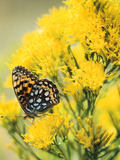 Coronis Fritillary  Nectaring on Rabbitbrush  WY
