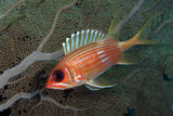 Longspine Squirrelfish with Sea Fan Curacao  Netherlands Antilles
