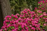 Rhododendrons  Crystal Springs Garden  Portland  Oregon  Usa