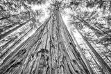 Roosevelt Grove  Humboldt Redwoods State Park  California