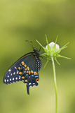 Black Swallowtail Butterfly on Cosmos Sensation Mix Bud  Marion C  Il