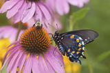 Pipevine Swallowtail Butterfly on Purple Coneflower Marion Co  Il