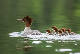 Common Merganser with Chicks in Beaver Lake  Montana  Usa