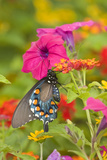 Pipevine Swallowtail on Red Spread Lantana  Marion Co Il