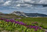 Parry's Primrose  Primuli Parryi  Alaska Basin Wilderness  Idaho