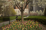 Trees and Tulips in Blloom in Mellon Green  Pittsburgh  Pa