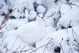 Willow Ptarmigan  Churchill Wildlife Area  Churchill  Manitoba  Canada
