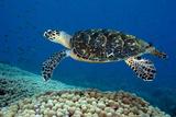 Hawksbill Sea Turtle Along a Coral Reef. Curacao, Netherlands Antilles Papier Photo par Barry Brown