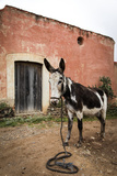 Piebald Donkey Outside a Building Pozos  Mexico