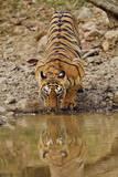 Tigress Drinking at the Waterhole  Tadoba Andheri Tiger Reserve  India