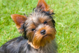 Yorkshire Terrier Looking Up at You