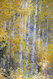 Fall Snowstorm  Aspen Trees  Grand Teton National Park