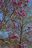 Magnolia Blossoms  Oregon Garden  Silverton  Oregon  Usa