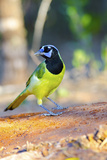 North America  USA  Texas  Rachal  Tacubaya  Green Jay Perched on Log