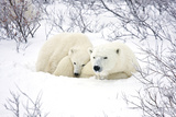 Polar Bears  Female and Cub  Churchill Wildlife Area  Manitoba  Canada