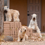 Soft Coated Wheaten Terriers Hanging Out
