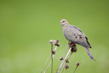 Mourning Dove on Seed Head of Purple Coneflower Marion  Illinois  Usa