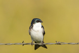 Tree Swallow in the Mission Valley  Montana  Usa