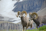 Big Horn Rams in the Wildflowers  Mount Timpanogos  Utah